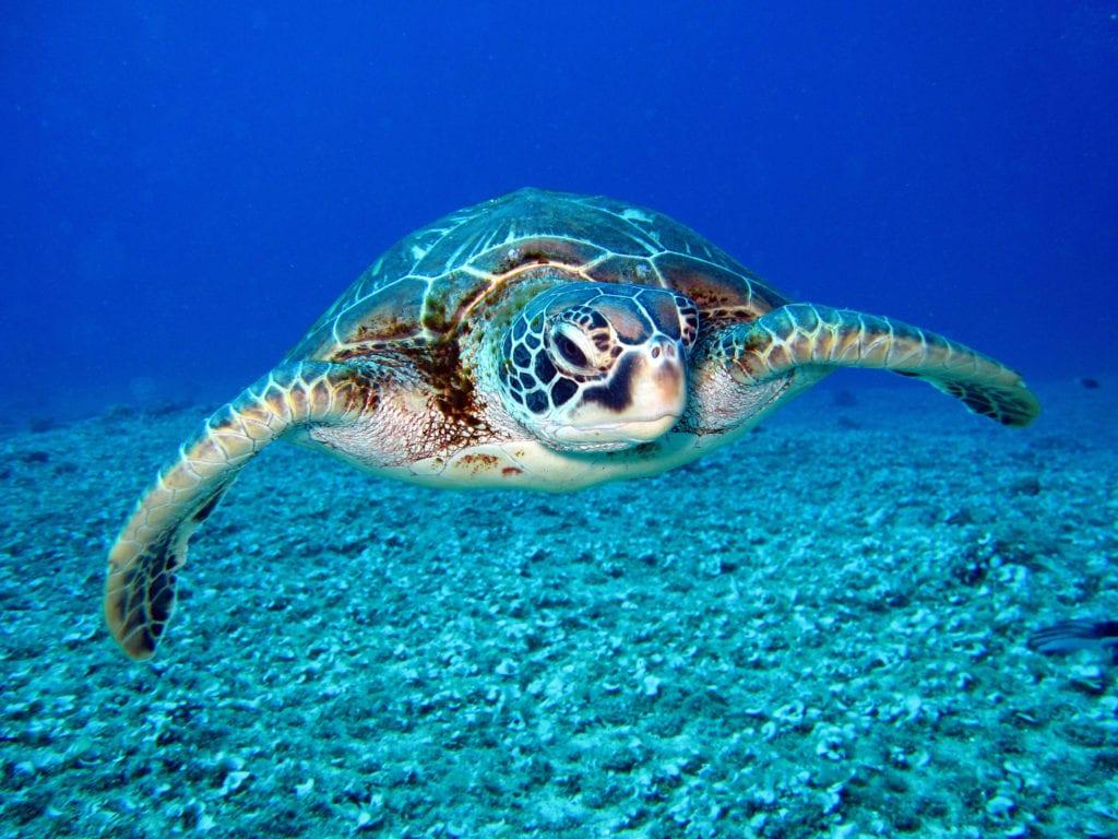 Pelorus Cuba Sea Turtle