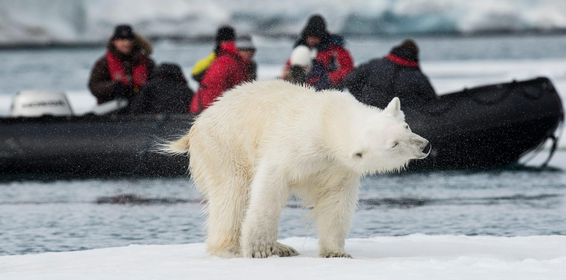 Pelorus Polar Bear Svalbard Longyearbyen