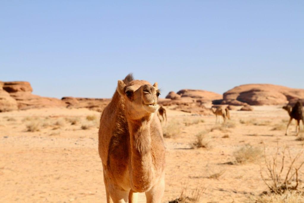 Saudi Arabia Camel in the Desert