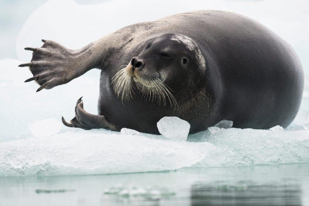 Pelorus Seal Svalbard Longyearbyen