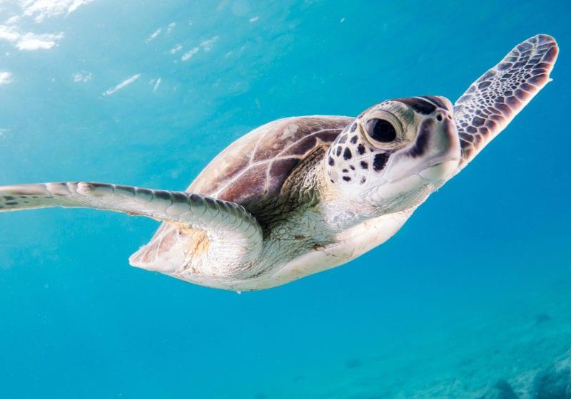 pelorus caribbean turtle underwater