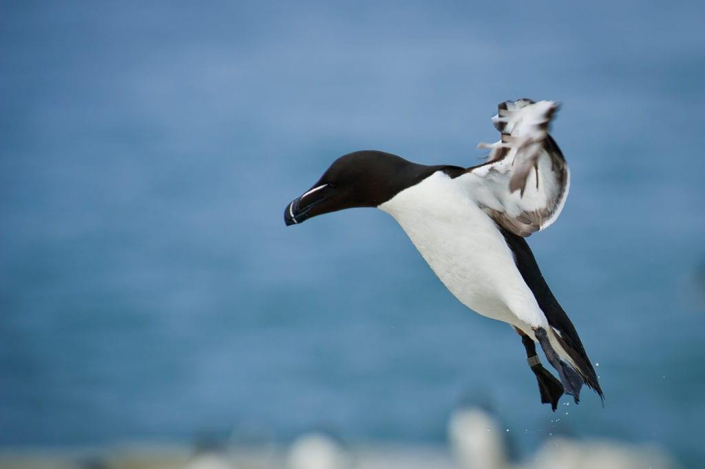Razorbill Bird Scotland Pelorus
