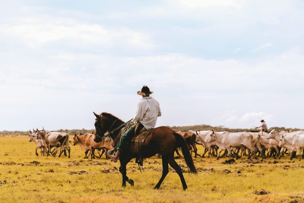 Rounding up animals horseback from Corocora Camp, Colombia