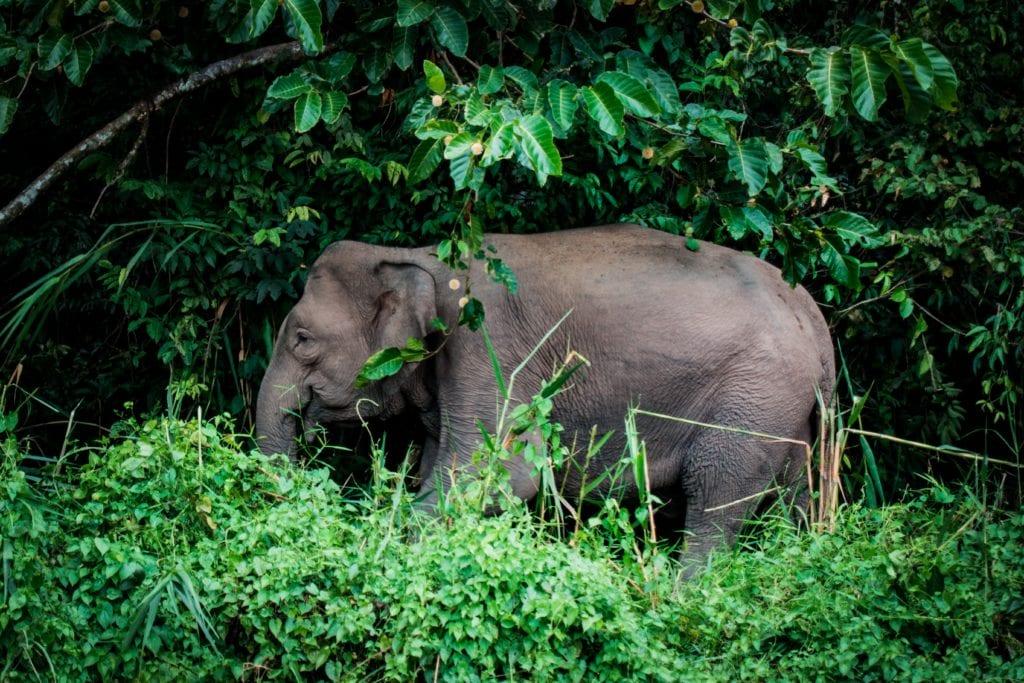 Elephant Jungle Borneo