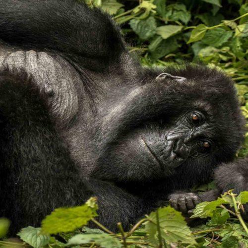 Discover Rwanda's Endearing Primates