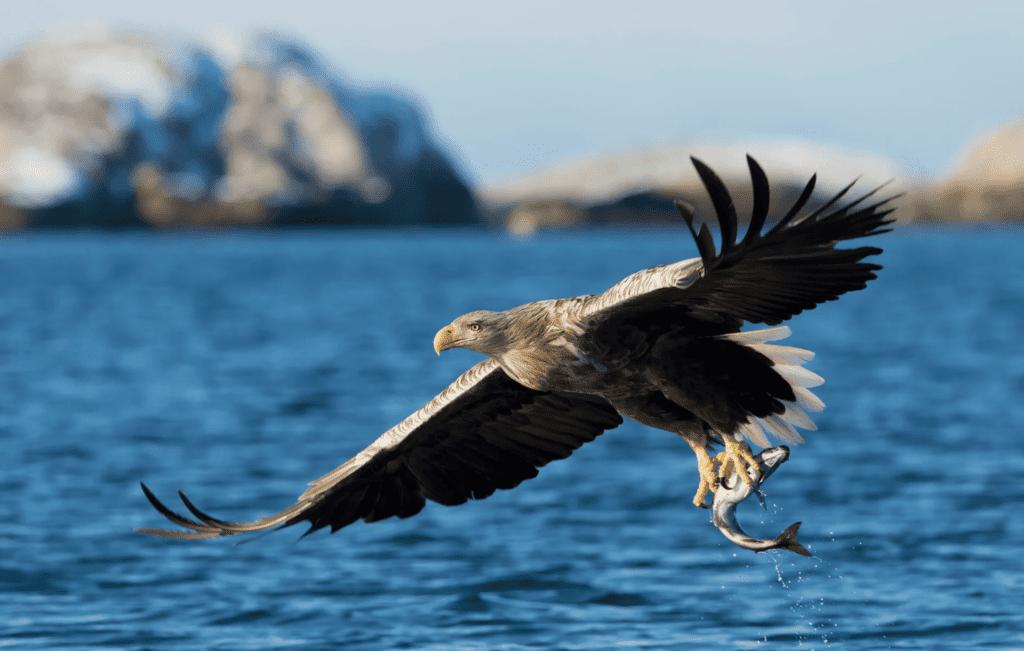 Sea Eagle Norway