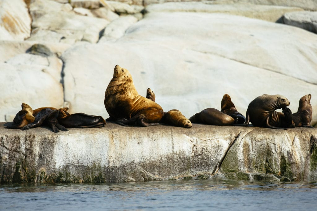 British Colombia Sea Lions