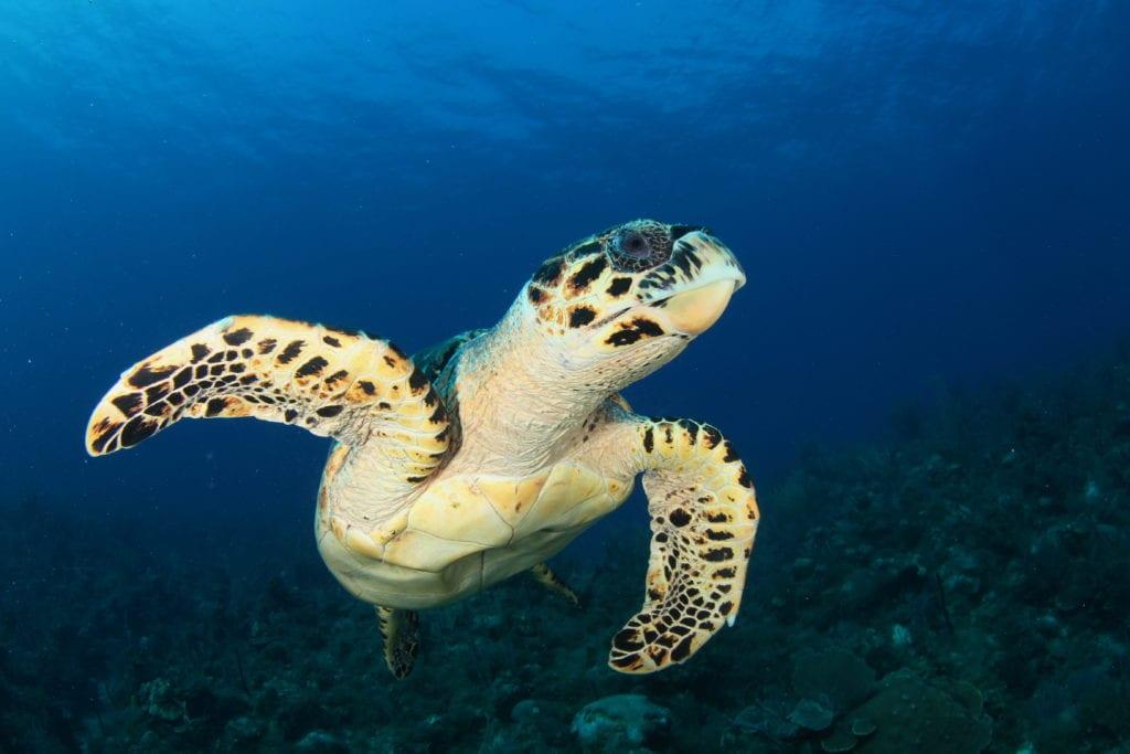 Sea Turtle Cuba
