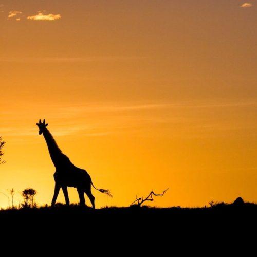 Safari Sunset Giraffe Silhouette