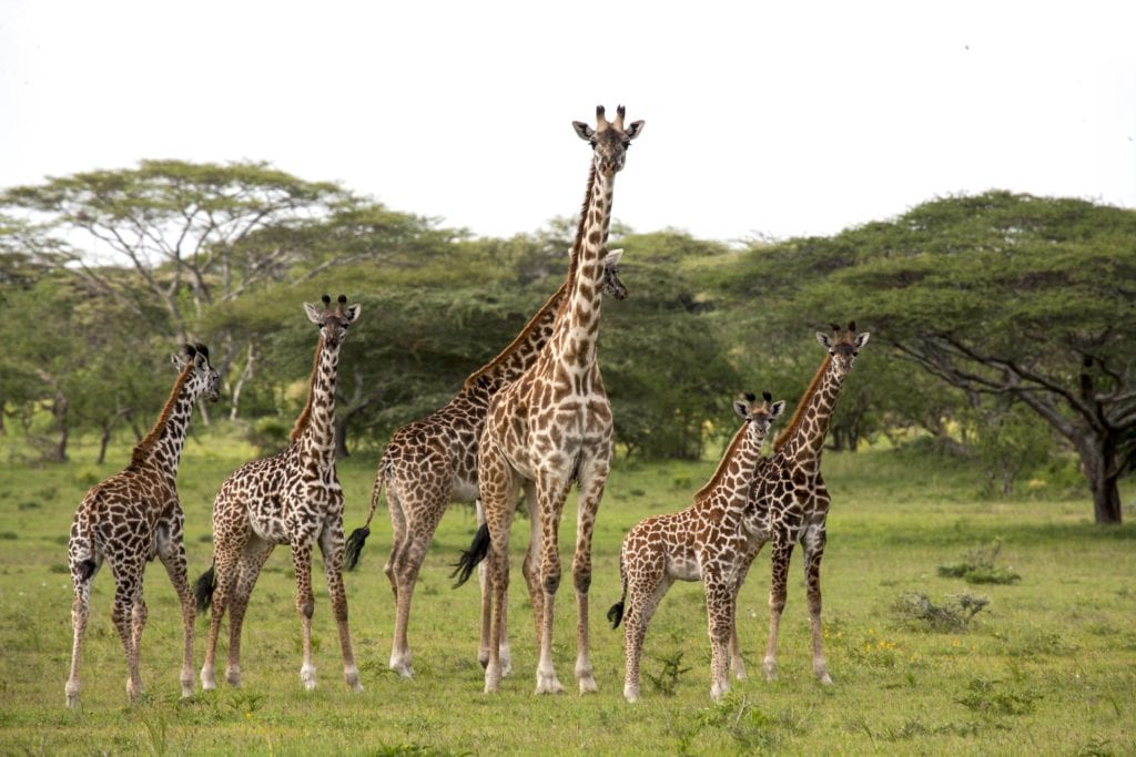 Family of giraffes in Tanzania