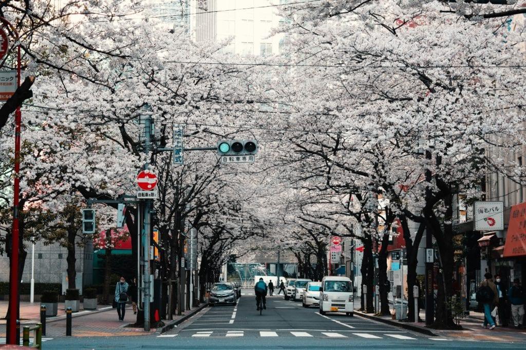 Tokyo Cherry Trees