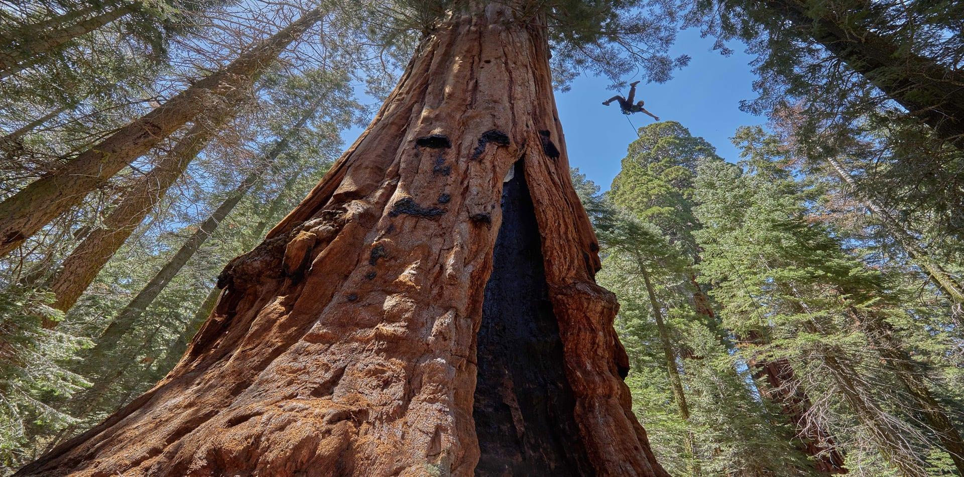 California Tree Climbing