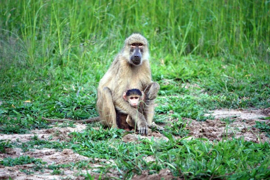 Monkey in Zambia