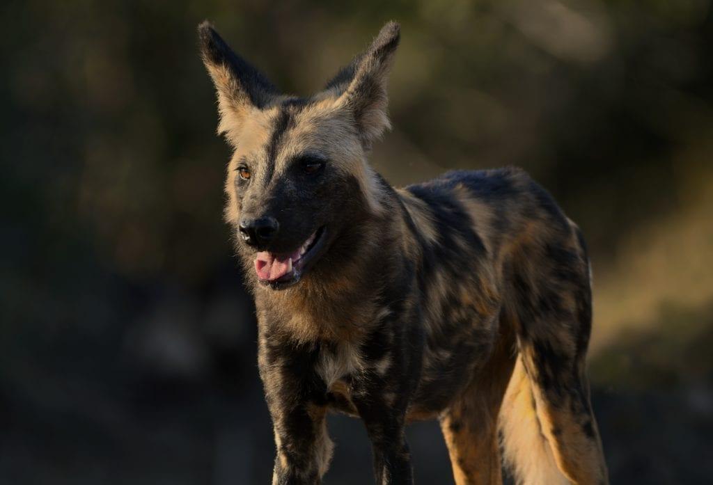 Wild dog Zambia