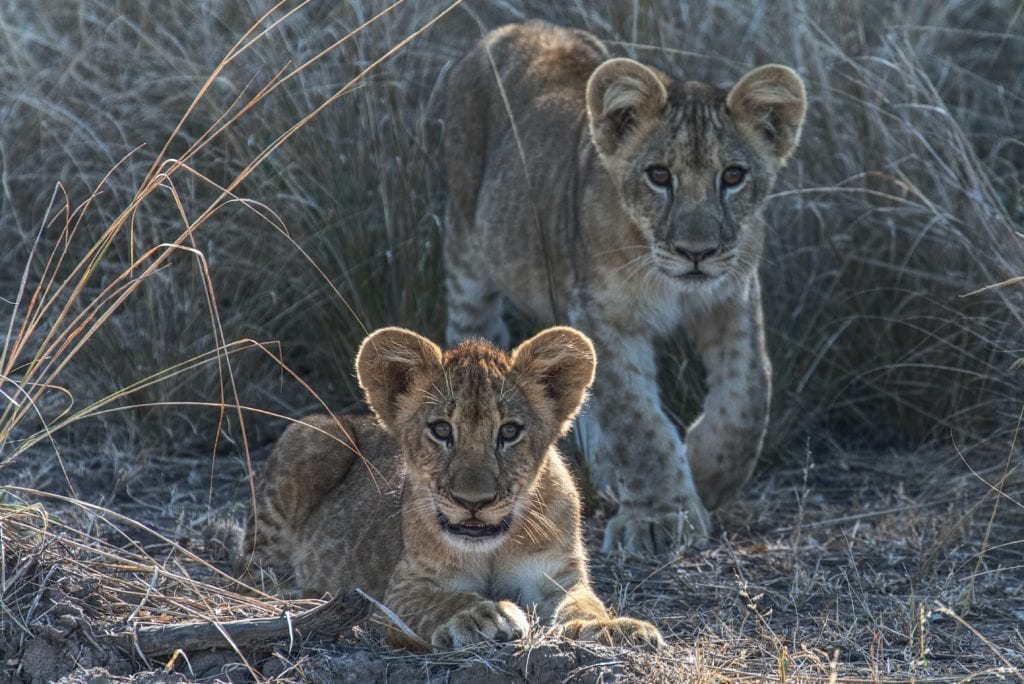 Cubs in Zambia