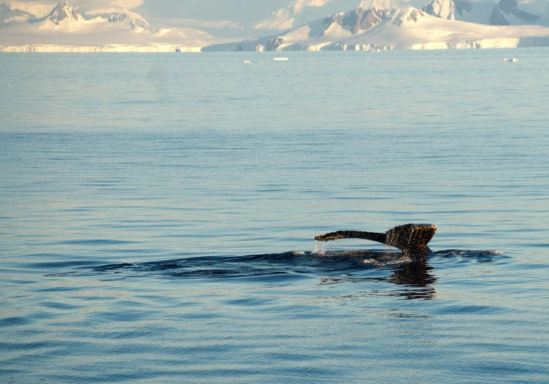 Whale Antarctica Pelorus Expedition