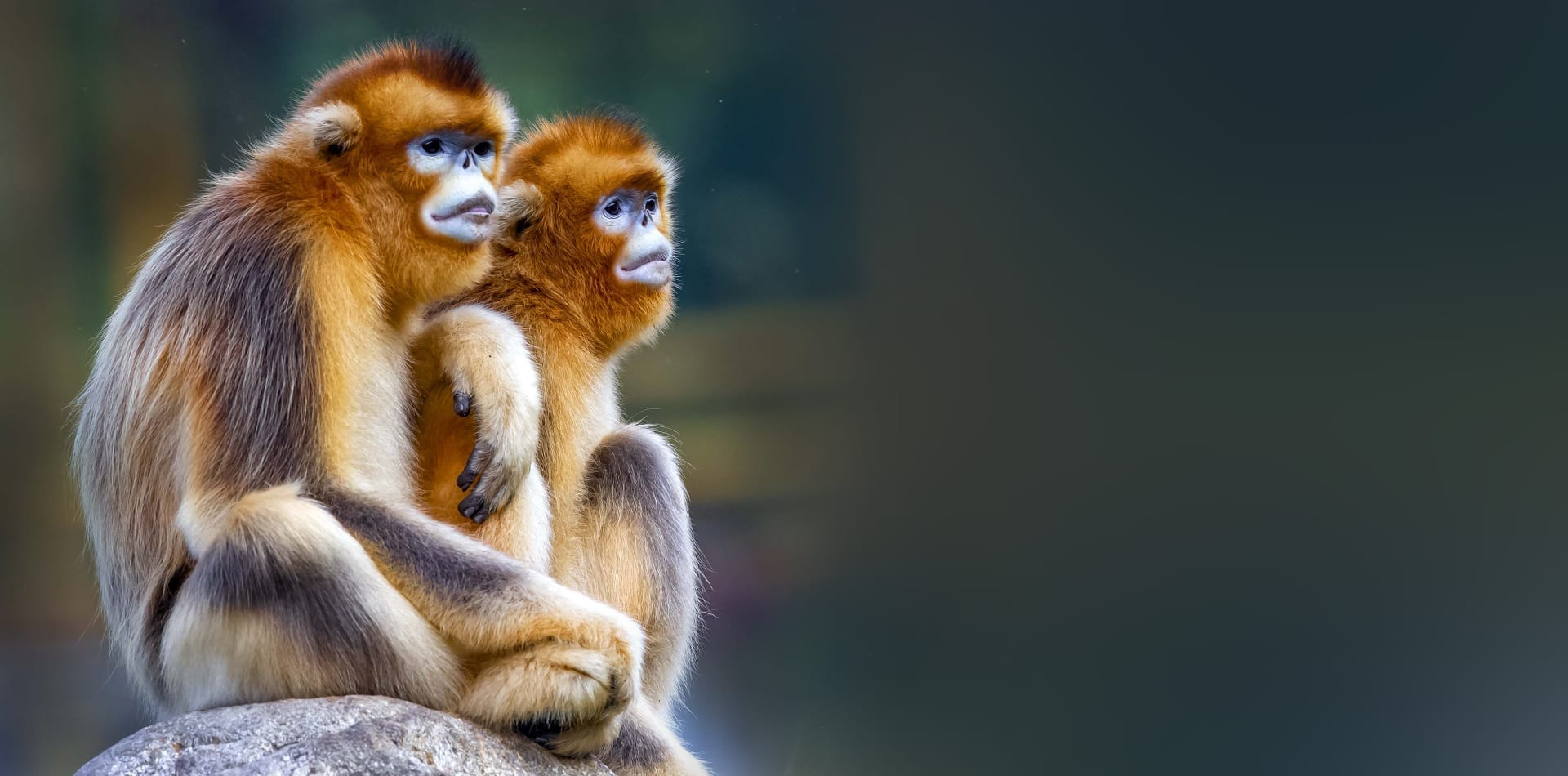 Snub nosed monkeys in China