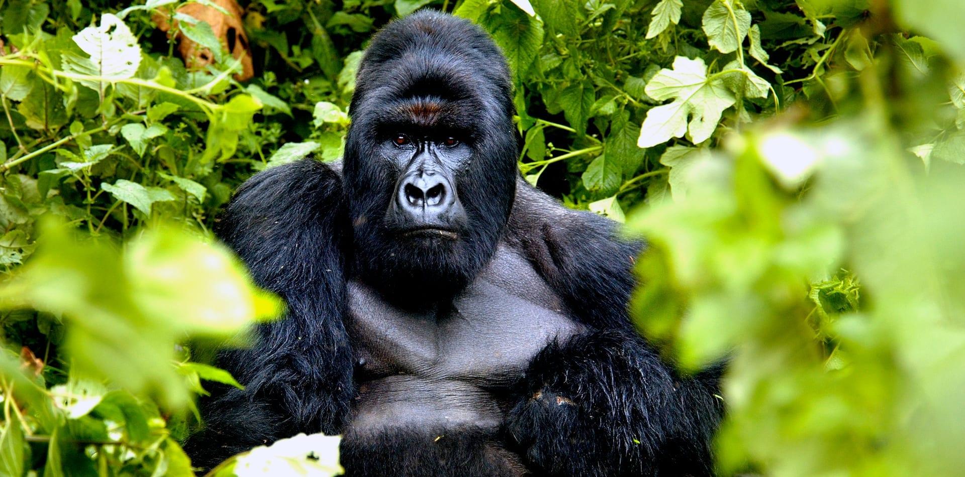 Gorilla in the jungle in Congo