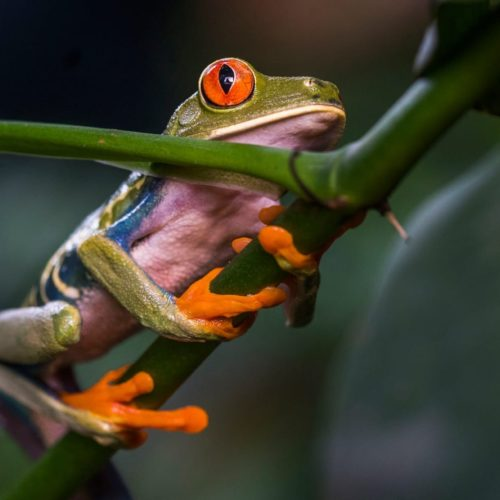 Tropical frog in Costa Rica