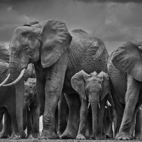 A herd of elephants captured by David Yarrow