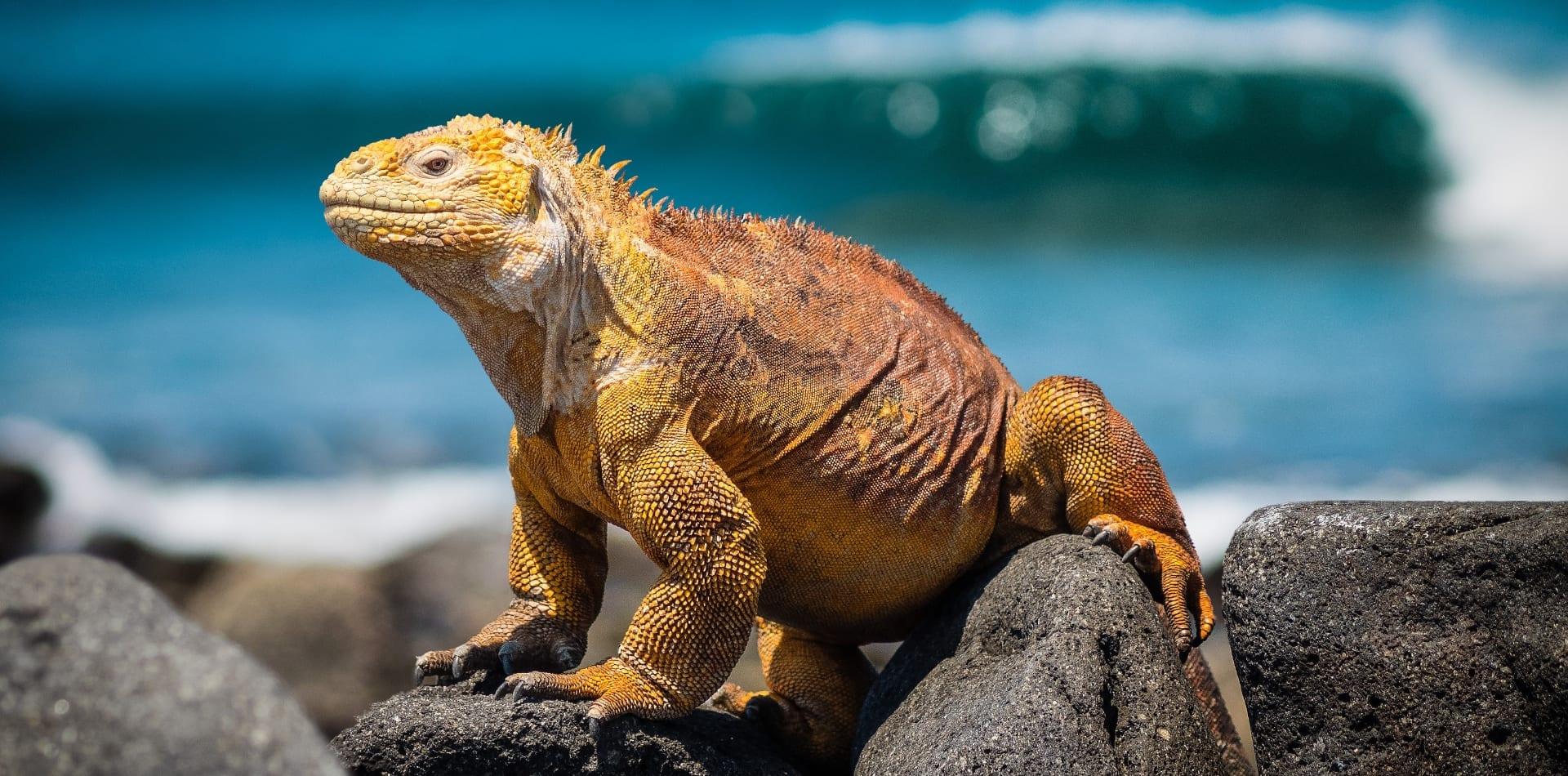 Iguana on the Galapagos Islands, Ecuador