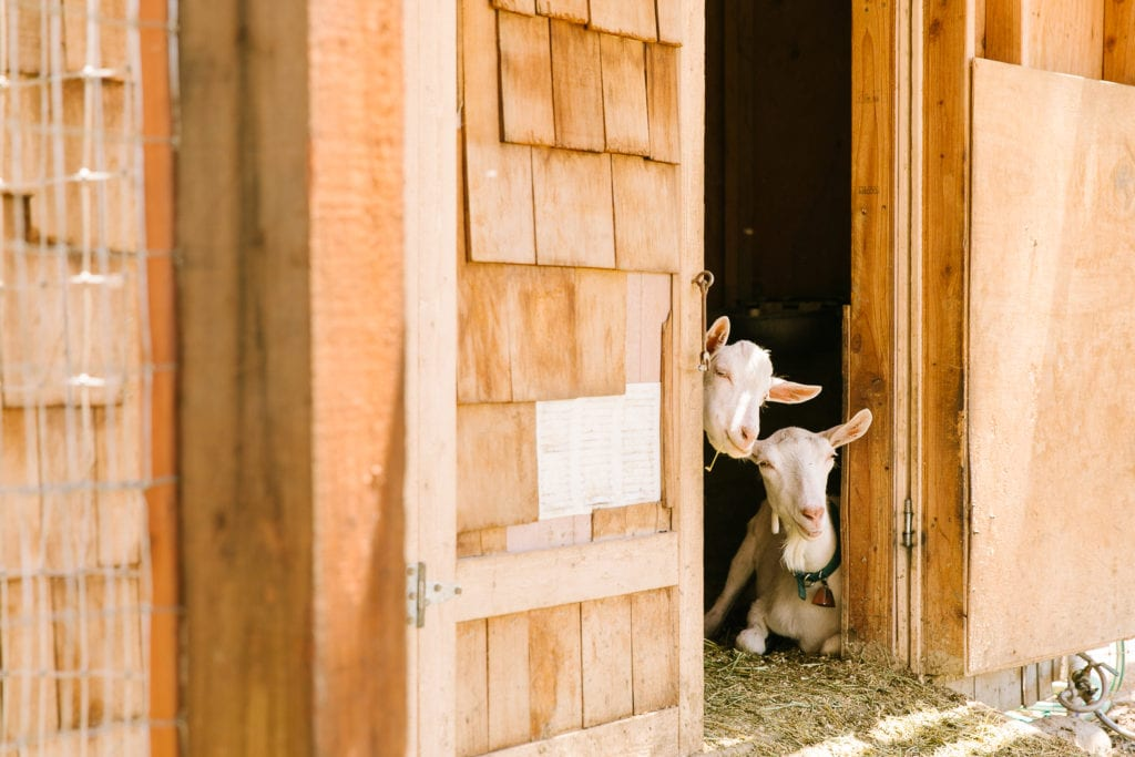 Goats at Carmel Valley Ranch Activities America