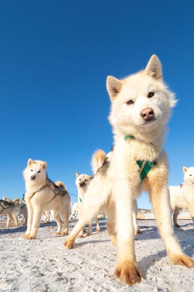 Husky Puppies at Ilimanaq Lodge Greenland