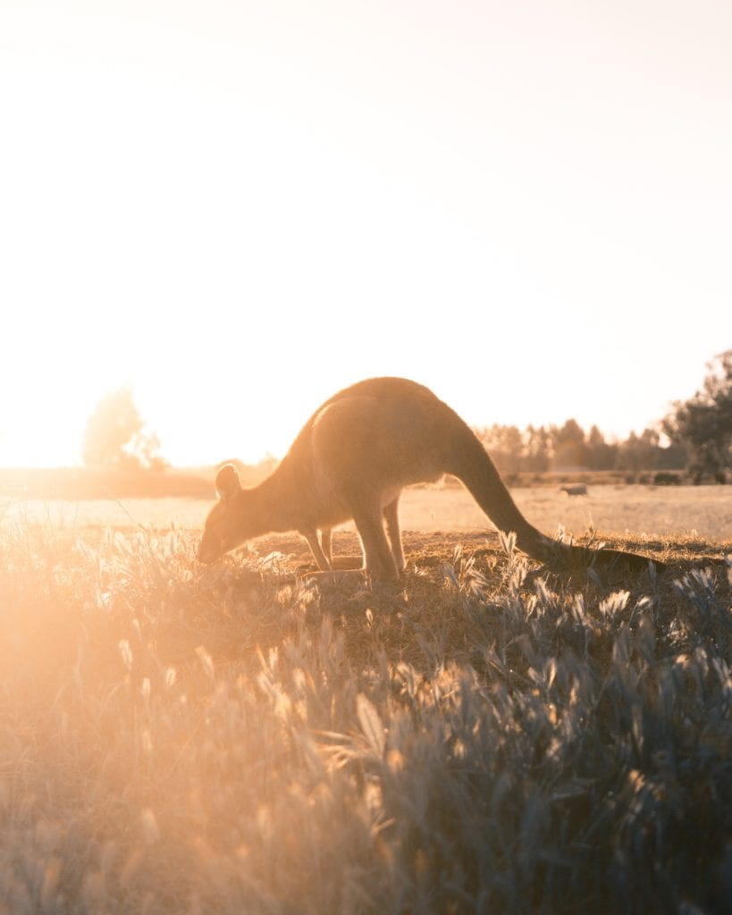 Kangaroo at Sunset in Australia Photo by Chistopher Burns