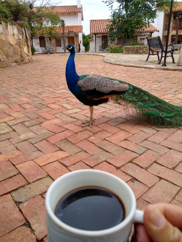 Morning Coffee and Peacock at El Pueblito Boutique Hotel Bolivia