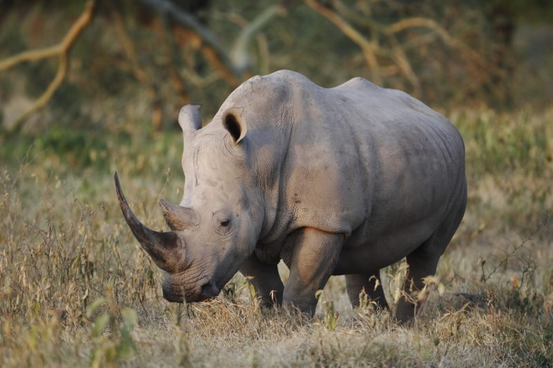 White Rhino Kenya Wildlife Safari Mount Kenya Africa