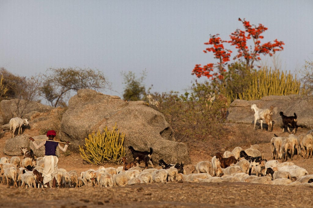 Local Rabari man with his goat herd