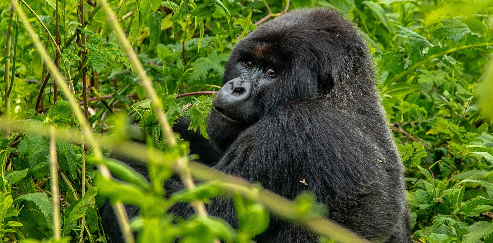 Gorilla in the jungles of Rwanda