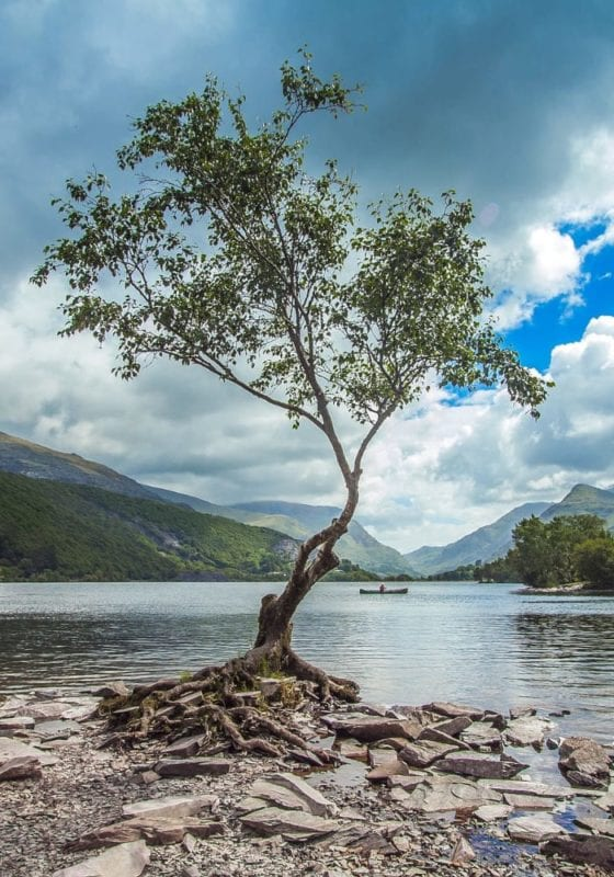 Tree by a lake on Scafell Pike
