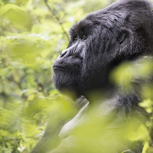 Wildlife Experiences at Virunga Lodge Gorilla Encounters Rwanda