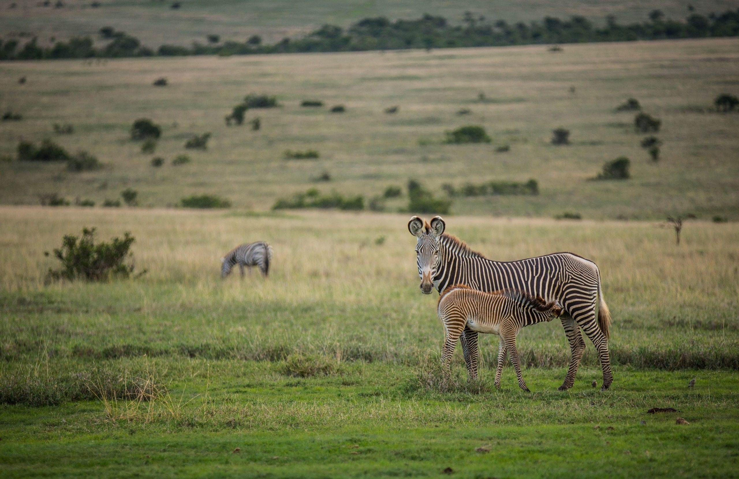 Wildlife Zebra Encounters Mount Kenya Africa