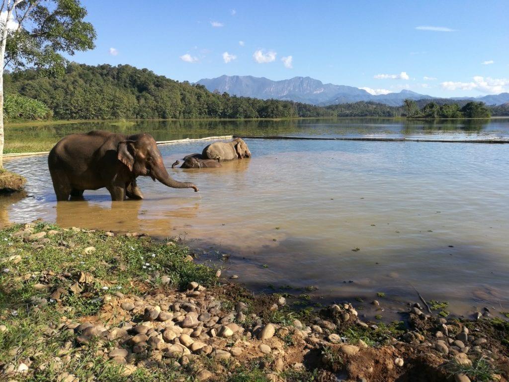 Lndochina Asian elephants swimming