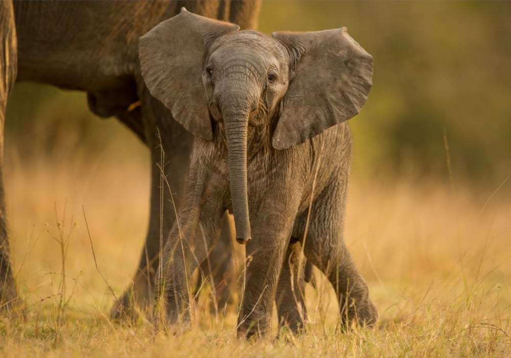 Baby elephant in Africa