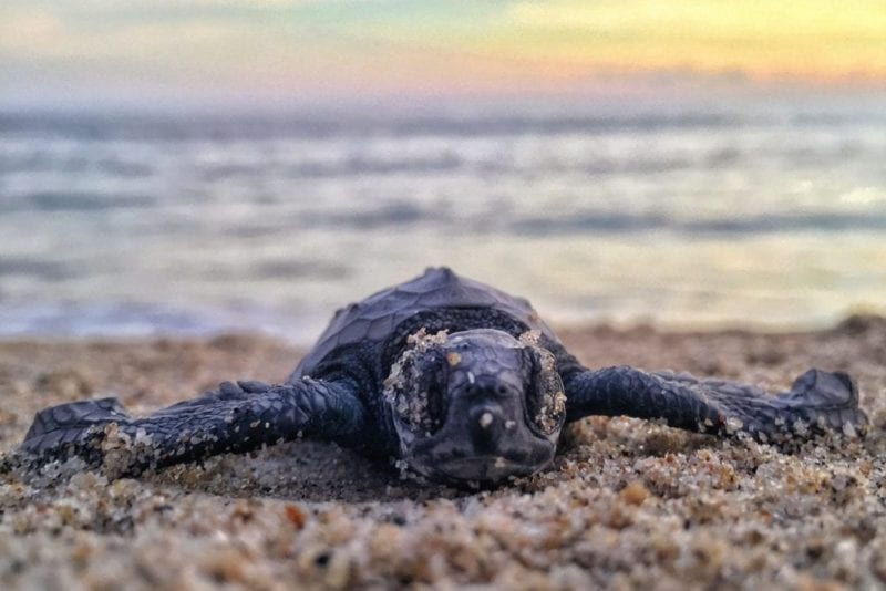 Lampi Foundation turtle conservation