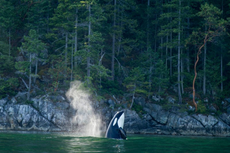 rich aquatic life features a killer whale launching out of the water