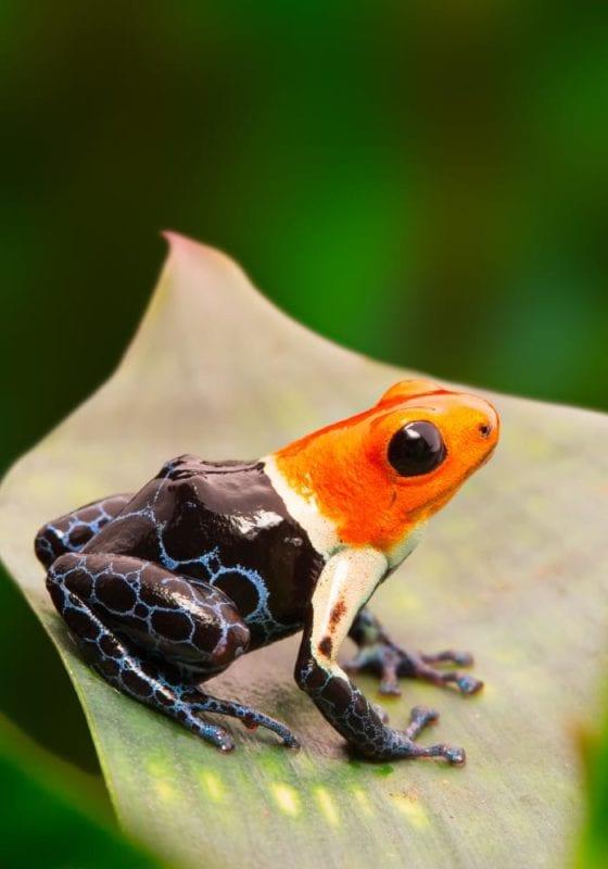 Dart frog in South America