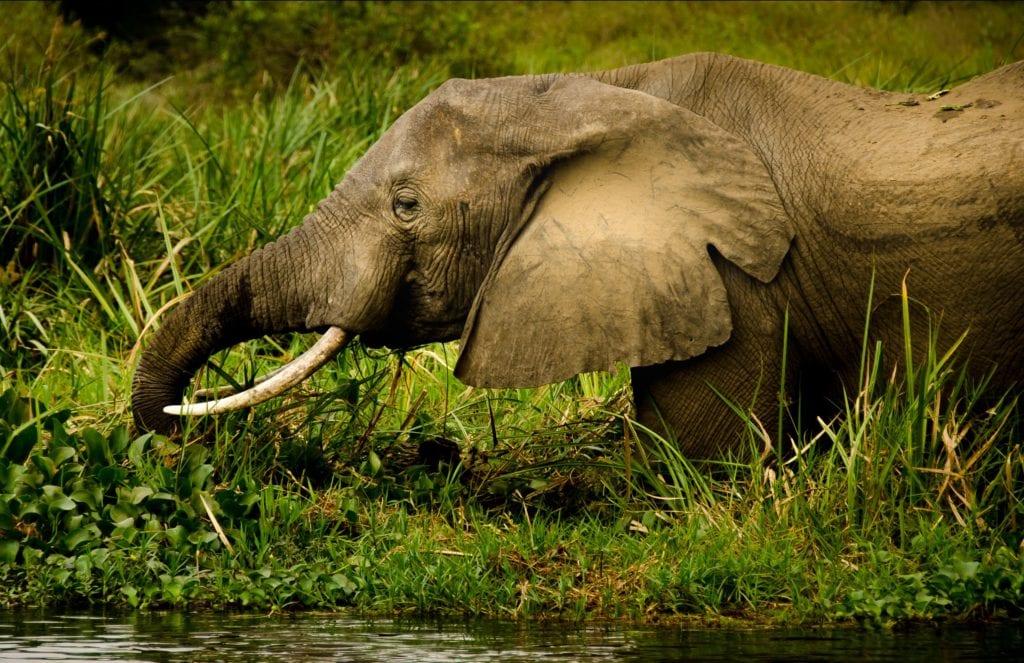 Forest Elephant in Uganda
