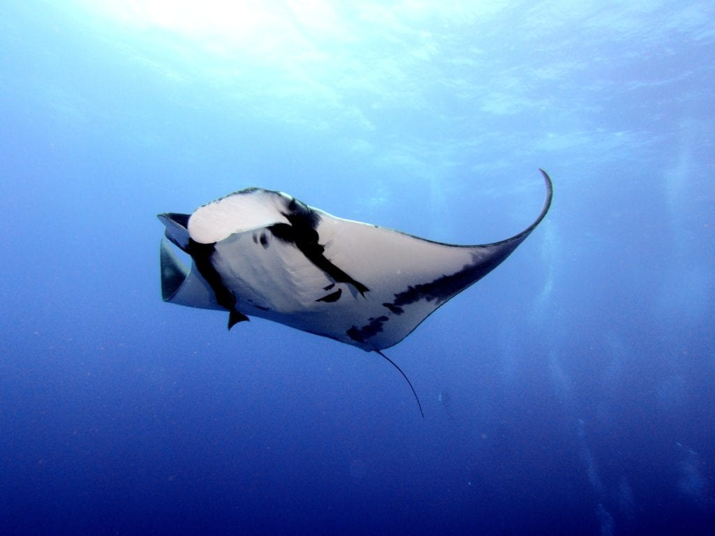 Manta ray French Polynesia