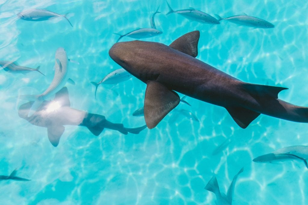 Sharks in French Polynesia
