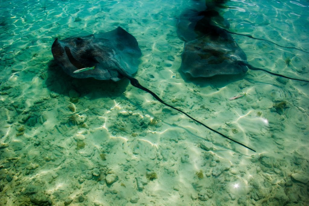 Sting rays in French Polynesia