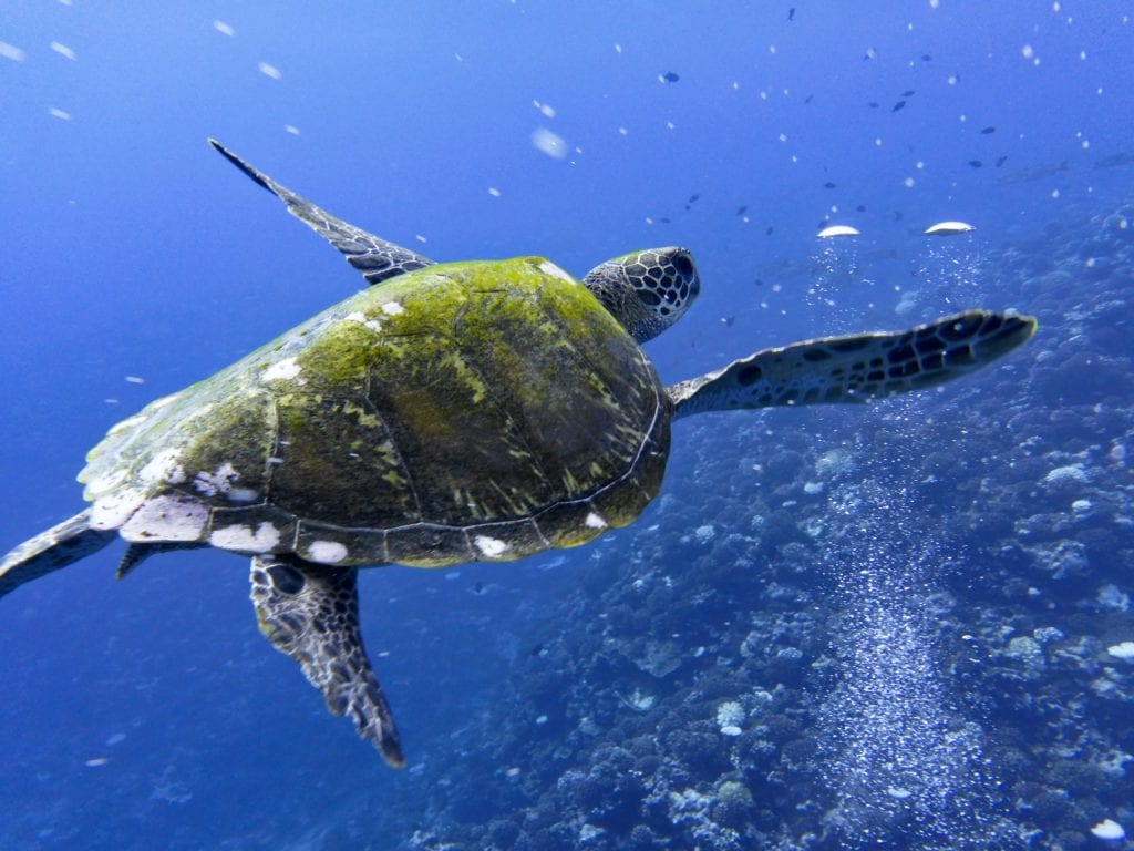 Sea turtle in French Polynesia