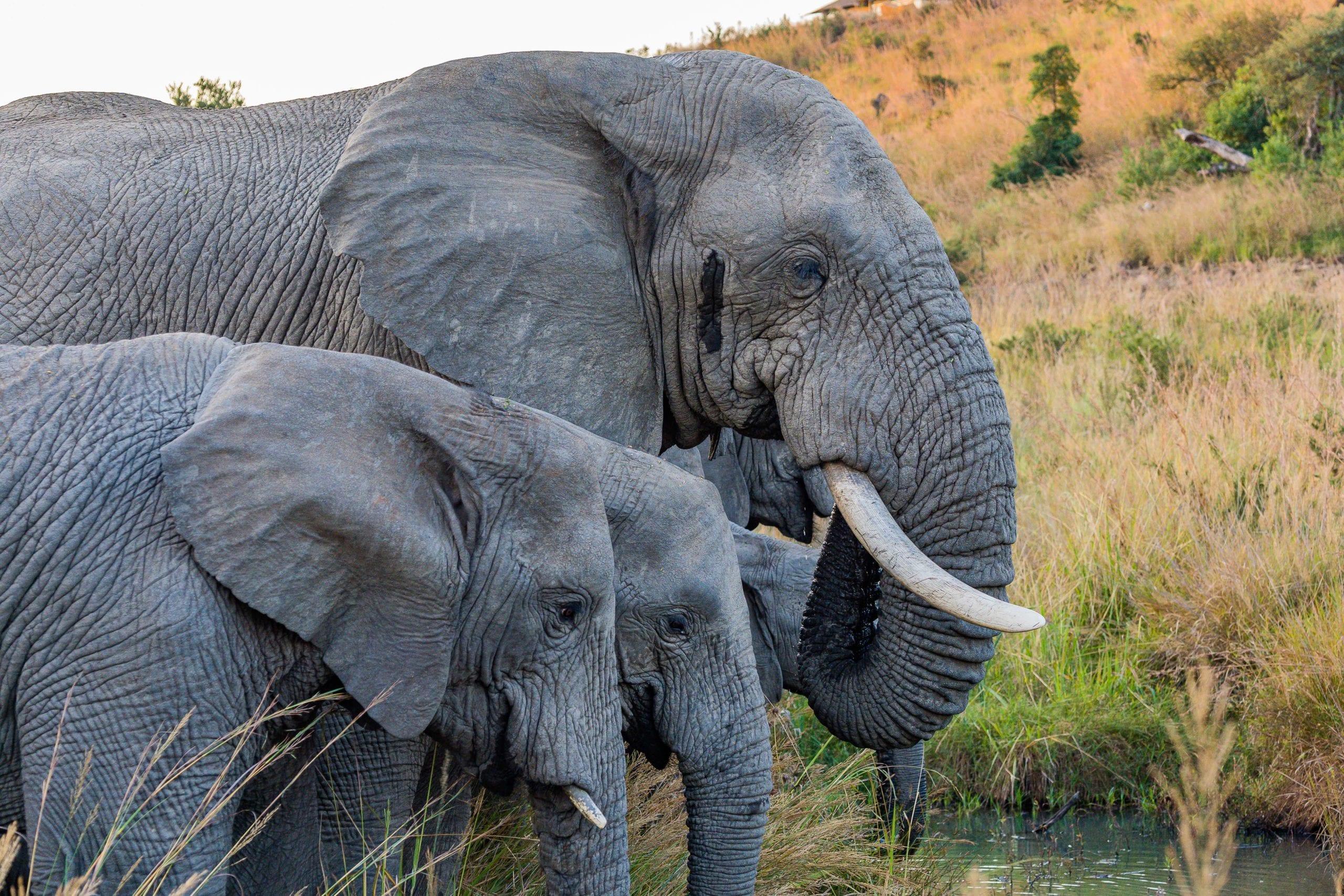 Gabon Elephants Grazing
