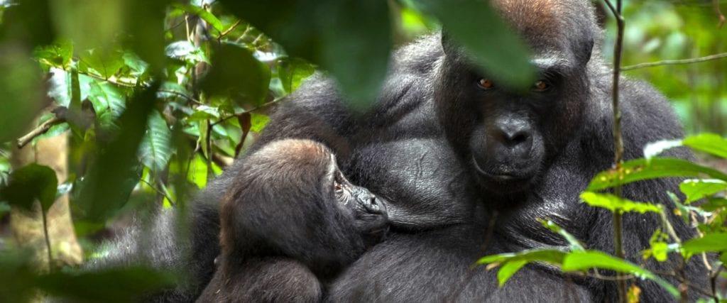 Gorilla close up in Gabon