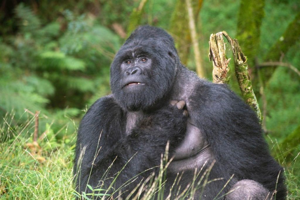 Gabon Gorilla Jungle
