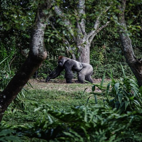 Gabon Gorilla Walking Jungle