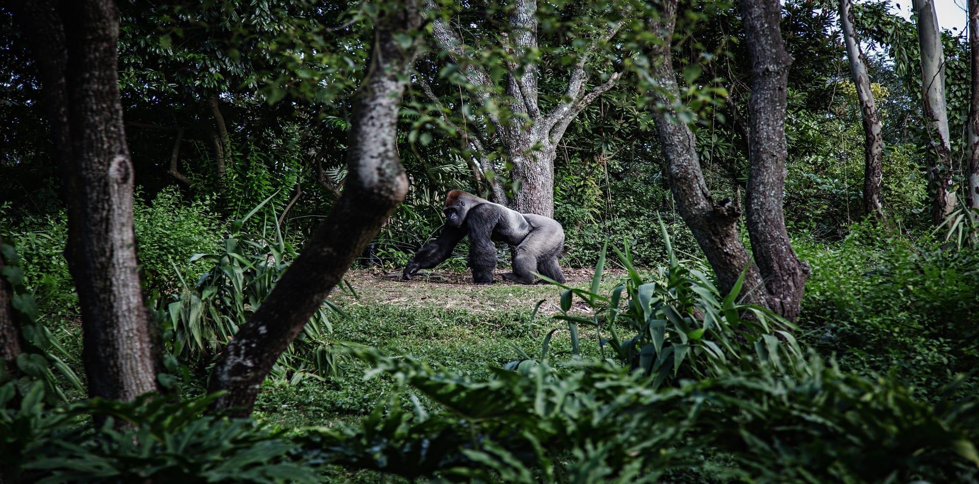 Gabon Gorilla Walking Jungle